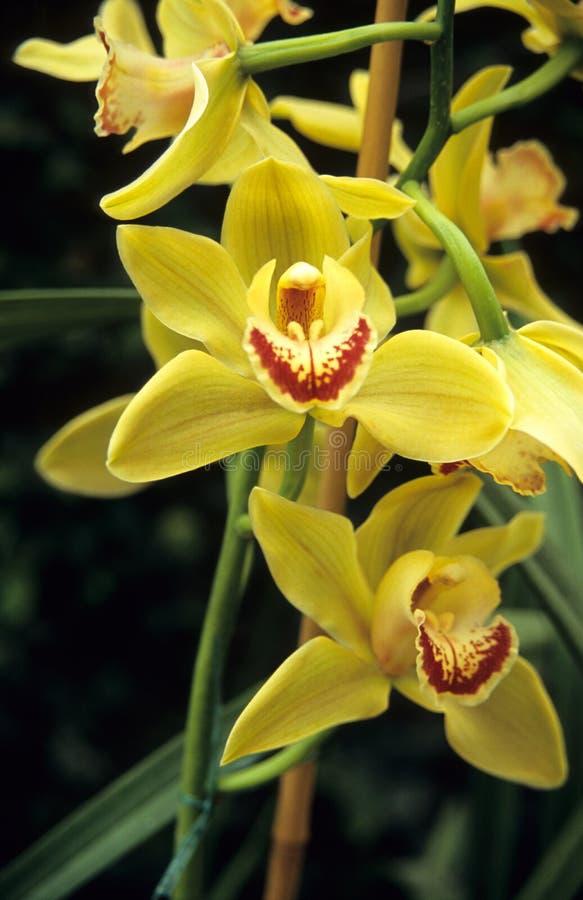 Gele orchidee Cymbidium stock afbeeldingen