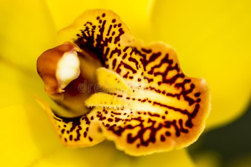 Gele orchidee die op het centrum van de bloem en zijn stampers letten stock fotografie