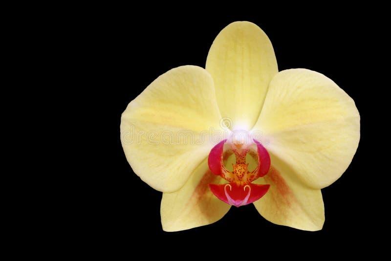 Gele orchidee die op zwarte wordt geïsoleerd royalty-vrije stock afbeeldingen