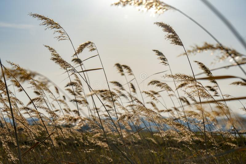 Gele oren van wild gras stock fotografie