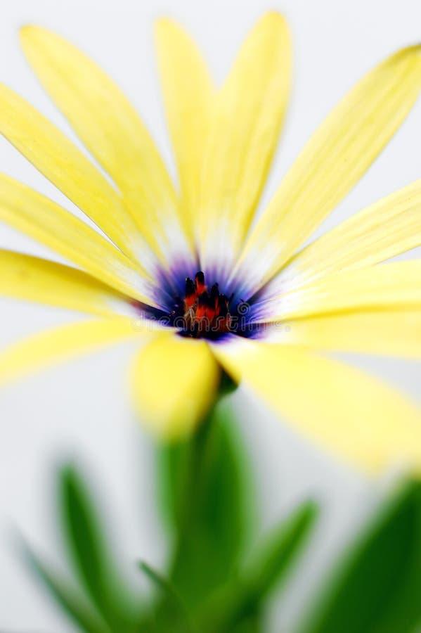 Gele Osteospermum - Gele Daisy Flower stock foto's
