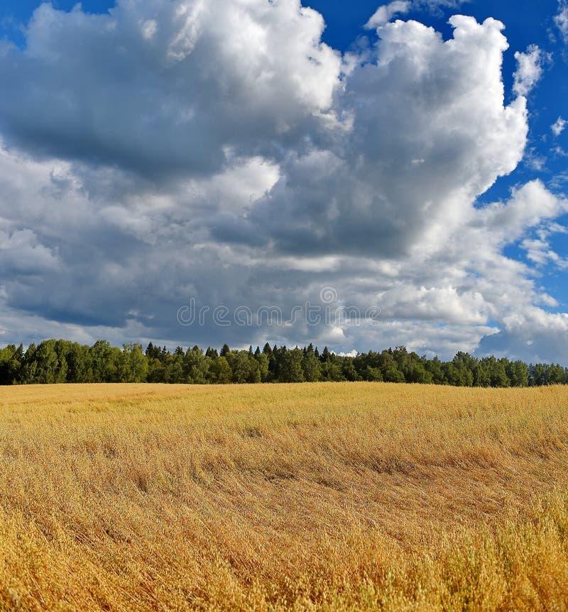 Gele overzees van tarwe op de achtergrond de blauwe hemel Augustus, de zomer zonnige dag stock foto's