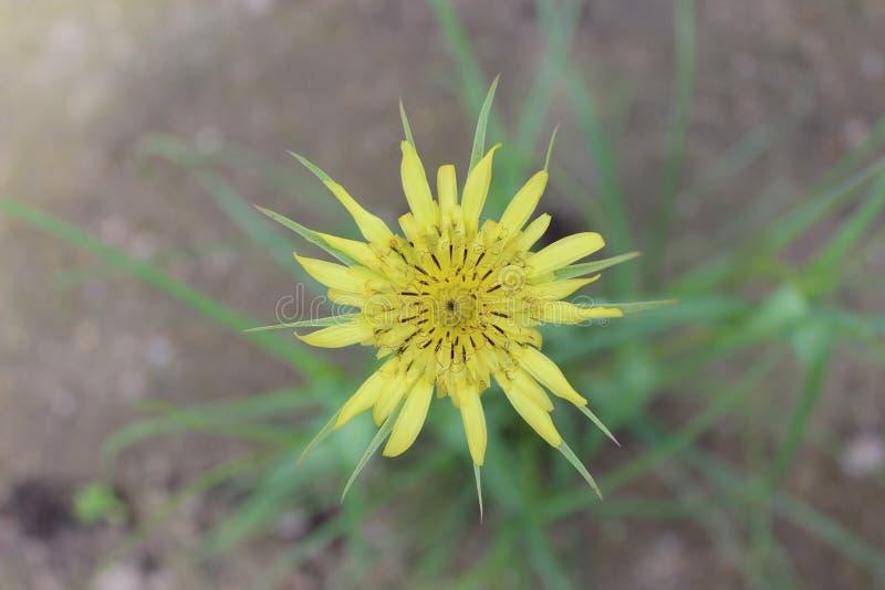 Gele paardebloembloem Tragopogon schorseneer royalty-vrije stock foto