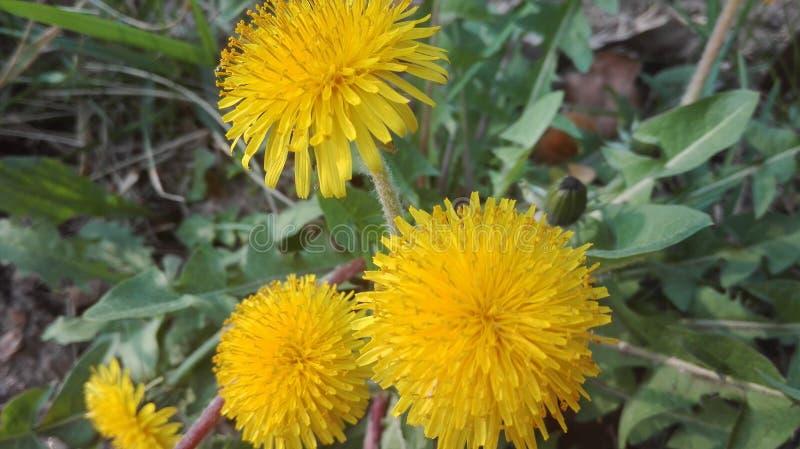 Gele paardebloemen stock fotografie
