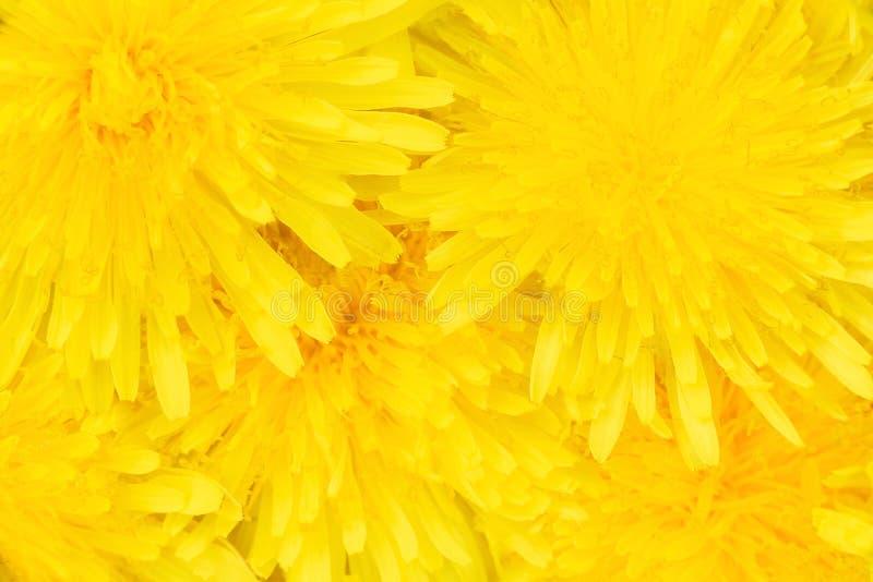 Gele paardebloemen bloemenachtergrond Close-up royalty-vrije stock foto