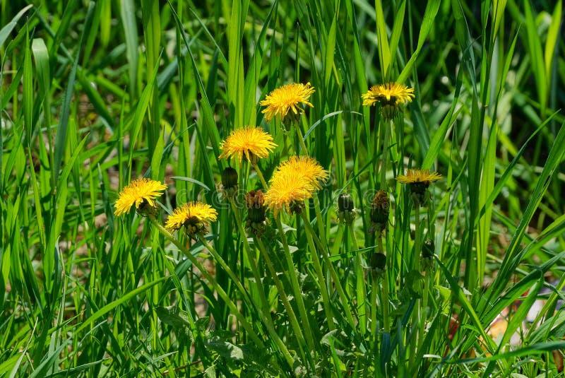 Gele paardebloemen onder groen gras op een gebied stock afbeeldingen