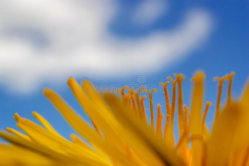 Gele paardebloemen op de blauwe hemel stock foto