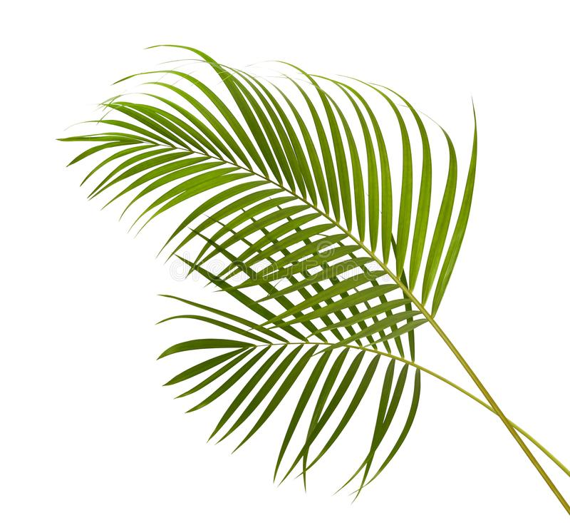 Gele palmbladen Dypsis lutescens of Gouden rietpalm, Areca palmbladen, Tropisch die gebladerte op witte achtergrond met c wordt g stock foto