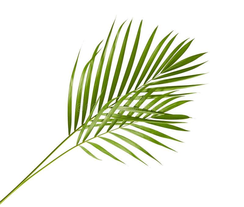 Gele palmbladen Dypsis lutescens of Gouden rietpalm, Areca palmbladen, Tropisch die gebladerte op witte achtergrond met c wordt g stock afbeelding