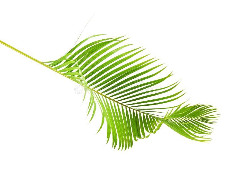Gele palmbladen Dypsis lutescens of Gouden rietpalm, Areca palmbladen, Tropisch die gebladerte op witte achtergrond met c wordt g royalty-vrije stock afbeeldingen