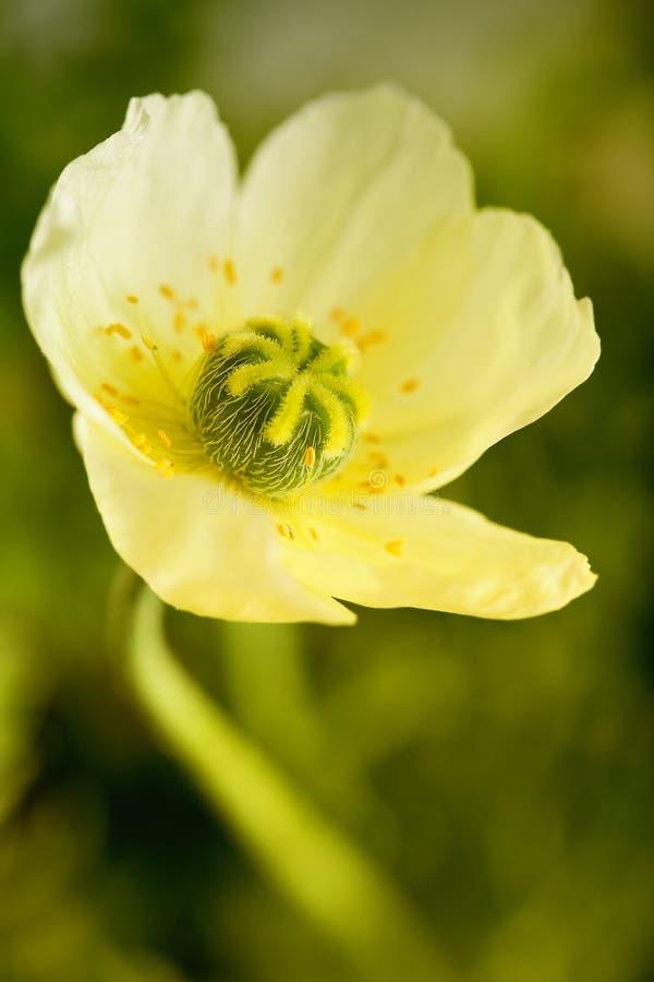Gele papaver stock foto's