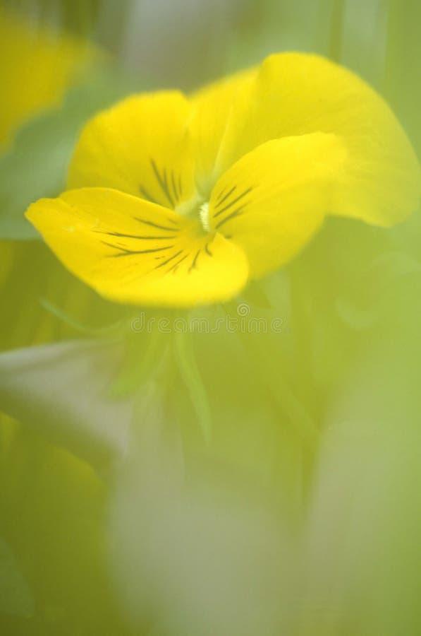 Gele papaver royalty-vrije stock afbeeldingen