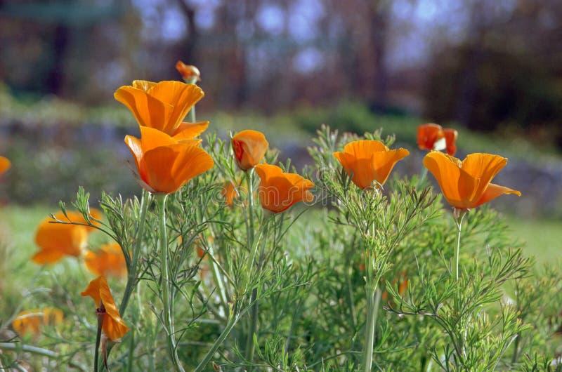 Gele papaver in tuin stock fotografie