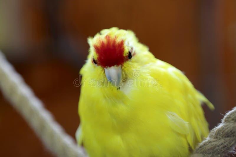 Gele papegaai op kabel stock fotografie