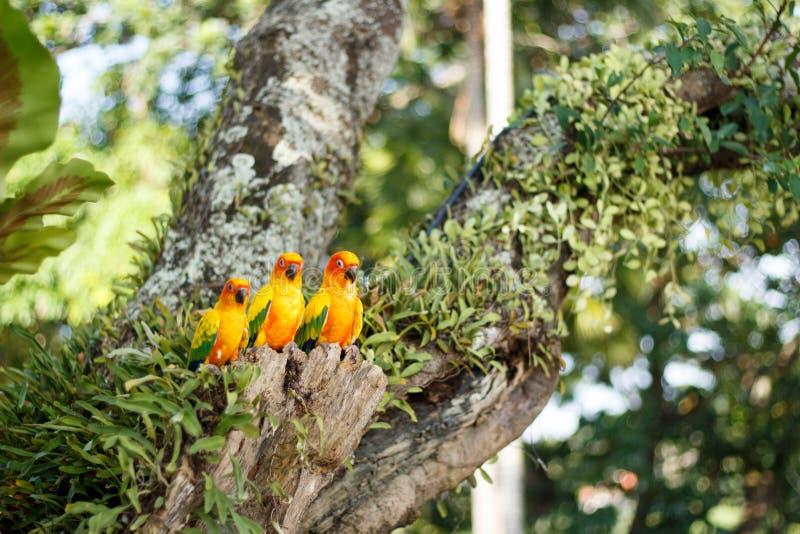Gele Papegaaien in een boom in Phuket-Eiland, Thailand stock afbeelding