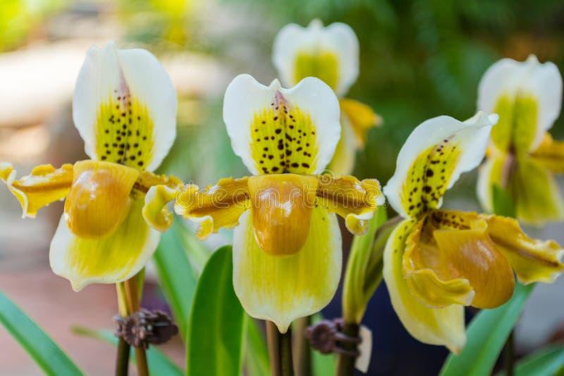 Gele paphiopedilumorchidee stock foto