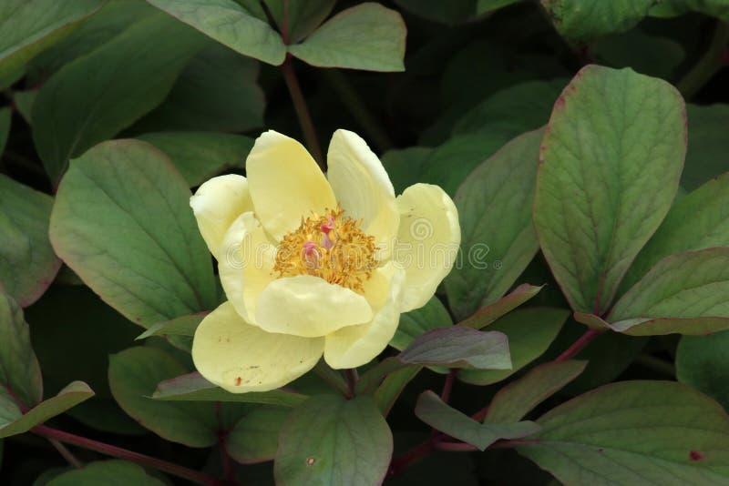 Gele pioenbloem, paeoniadaurica stock fotografie