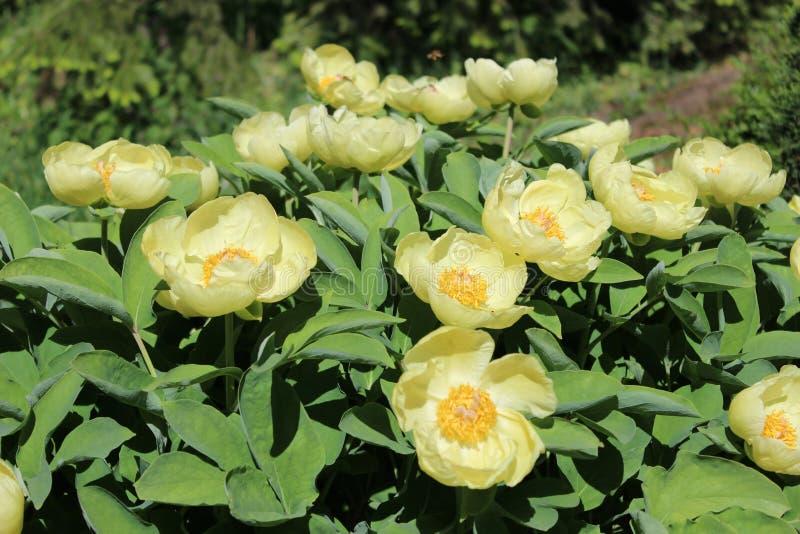 Gele pioenen in bloei in een tuin royalty-vrije stock afbeelding