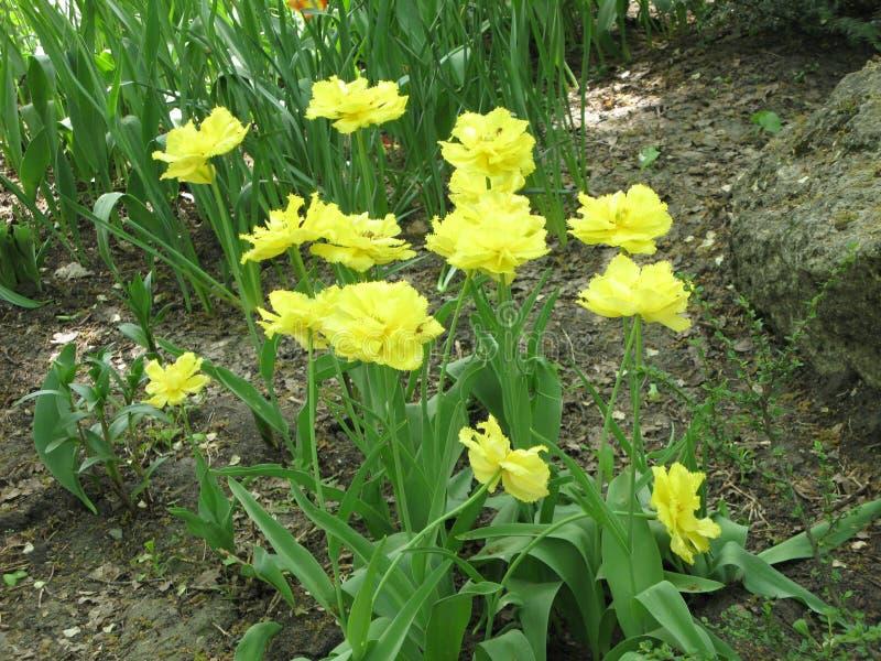 Gele pion-als badstof omzoomde tulpen in een bloembed stock fotografie