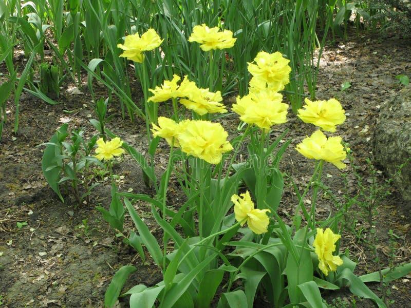 Gele pion-als badstof omzoomde tulpen in een bloembed stock afbeelding