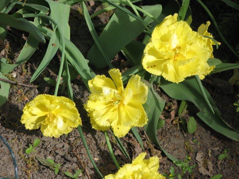 Gele pion-als badstof omzoomde tulpen in een bloembed stock foto