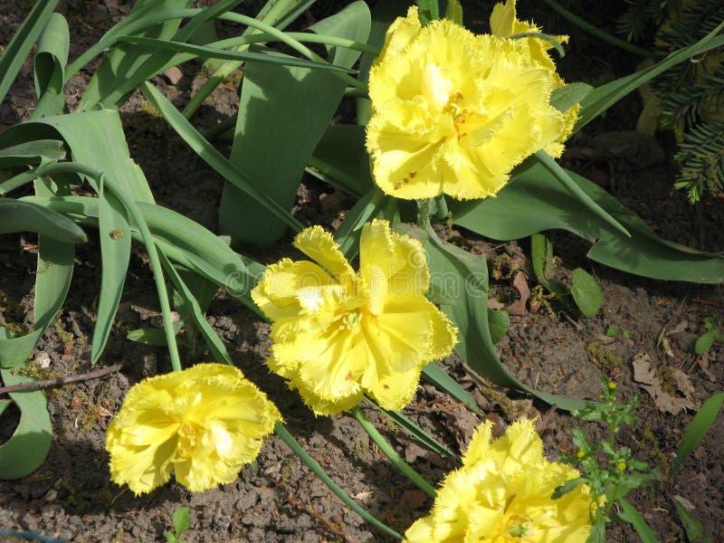 Gele pion-als badstof omzoomde tulpen in een bloembed stock foto's