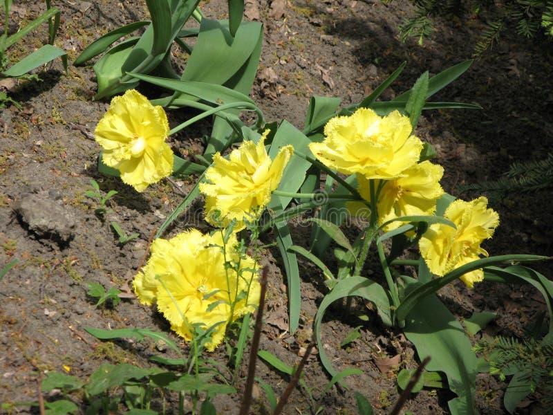 Gele pion-als badstof omzoomde tulpen in een bloembed royalty-vrije stock foto
