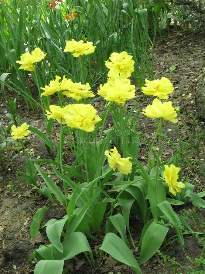 Gele pion-als badstof omzoomde tulpen in een bloembed royalty-vrije stock afbeeldingen