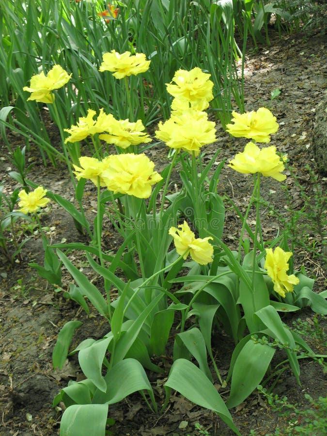 Gele pion-als badstof omzoomde tulpen in een bloembed royalty-vrije stock fotografie