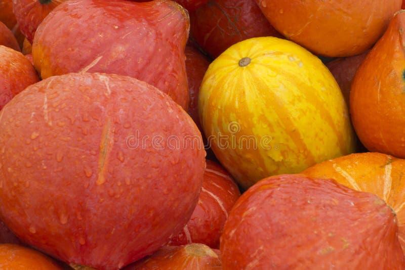 Gele pompoen omgeven door oranje pompoenen royalty-vrije stock afbeelding