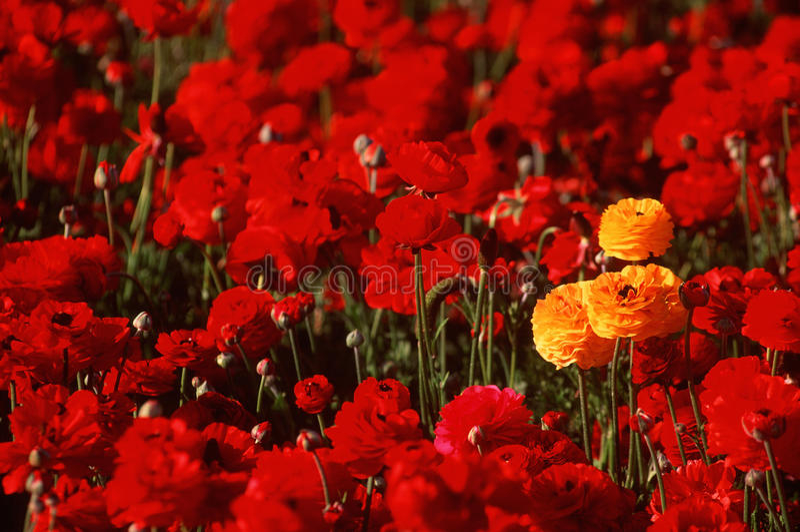 Gele Ranunculus die op rood bloemgebied duidelijk uitkomt stock afbeeldingen