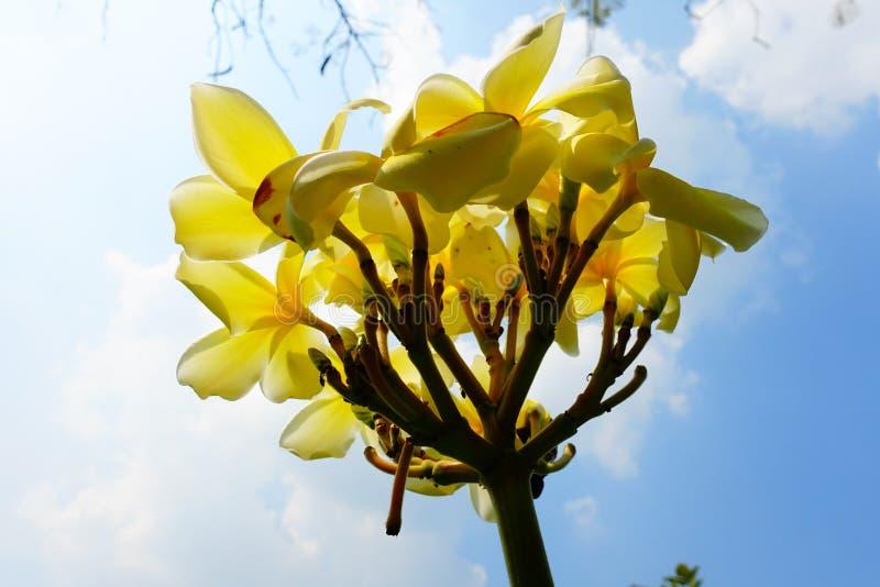 Gele Reerawadee-bloemen royalty-vrije stock foto's