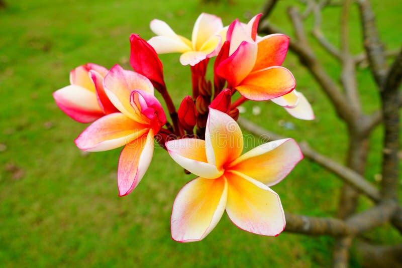 Gele Reerawadee-bloemen royalty-vrije stock fotografie