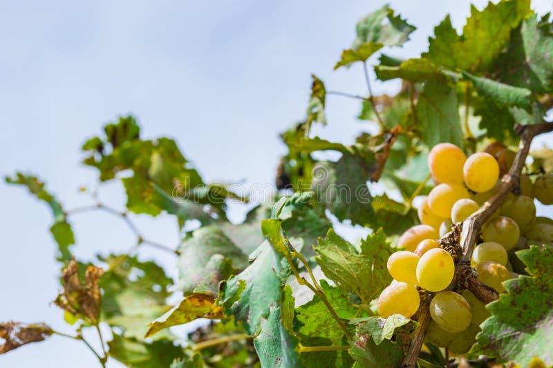 Gele rijpe druivenbessen die op tak hangen stock afbeeldingen