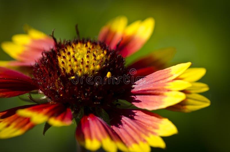 Gele rode bloem op groen close-up als achtergrond stock afbeeldingen
