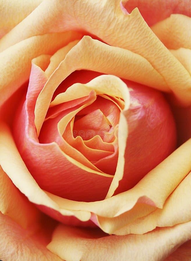 Gele Rode Oranje nam Bloemblaadjes toe royalty-vrije stock afbeeldingen