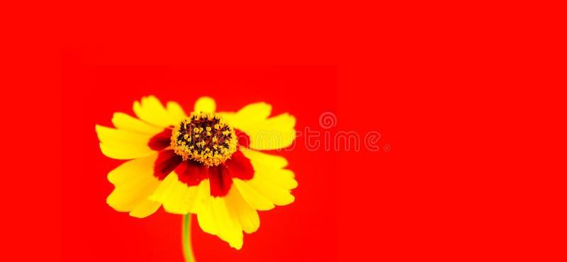 Gele rode oranje wilde coreopsis van bloemvlaktes, tuiniert gouden tickseed Coreopsis-tinctoria tijdens de close-upmacro van de d stock foto