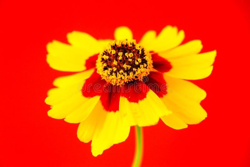 Gele rode oranje wilde coreopsis van bloemvlaktes, tuiniert gouden tickseed Coreopsis-tinctoria tijdens de close-upmacro van de d royalty-vrije stock afbeelding