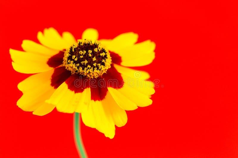 Gele rode oranje wilde coreopsis van bloemvlaktes, tuiniert gouden tickseed Coreopsis-tinctoria tijdens de Lente en de Zomer stock fotografie
