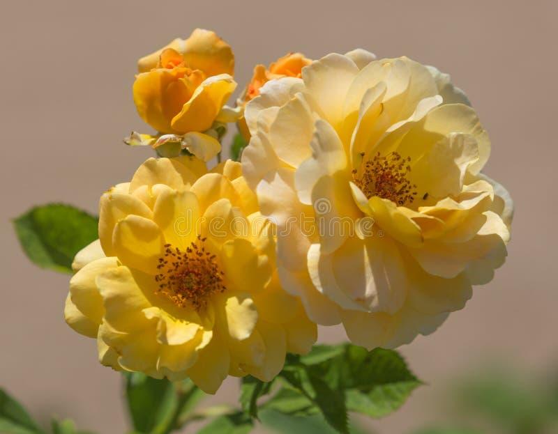 Gele Rose Bouquet stock fotografie