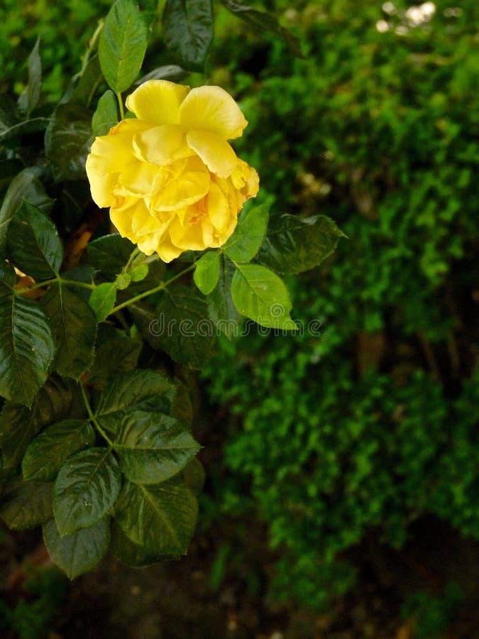 Gele Rose In Garden stock afbeelding