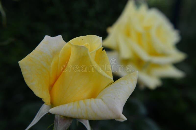 Gele rosebud macro stock fotografie
