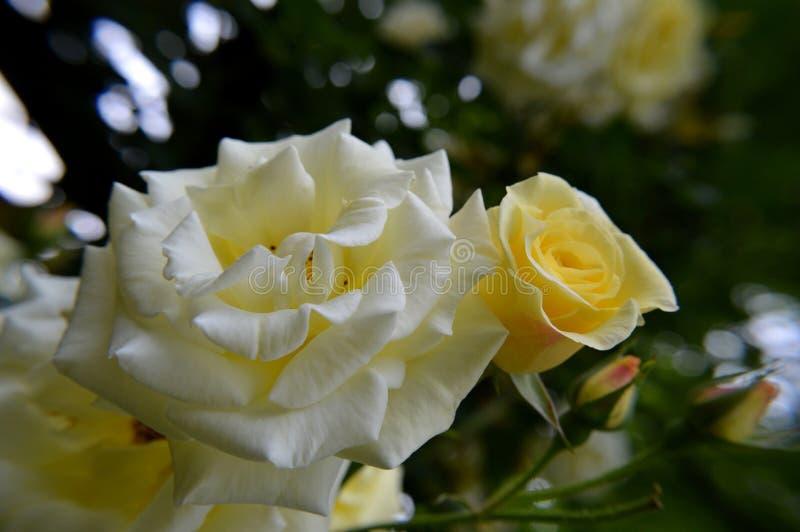Gele rosebud macro royalty-vrije stock foto's