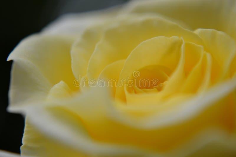 Gele rosebud macro royalty-vrije stock fotografie