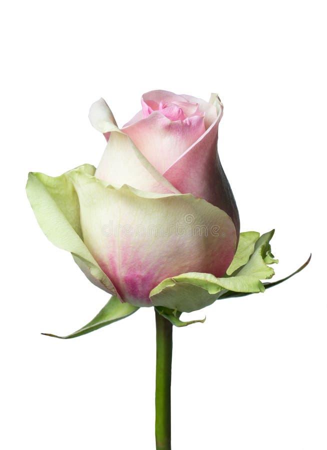 Gele Roze nam toe royalty-vrije stock afbeeldingen