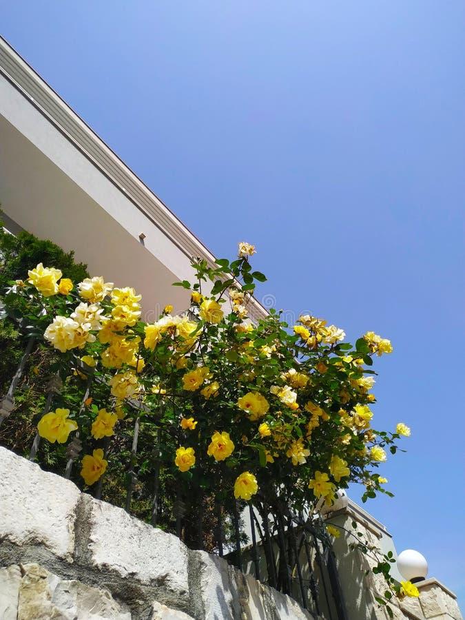 Gele rozen bij zonnige dag stock foto's