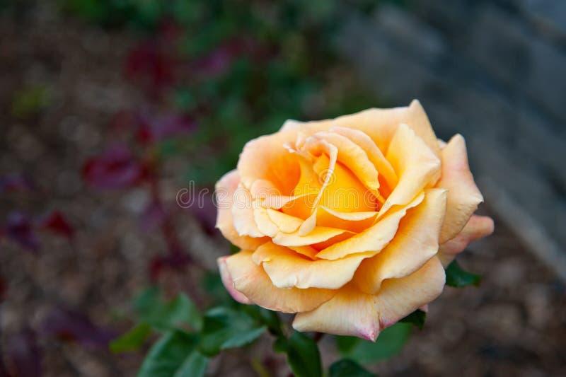 Gele rozen in de Tuin royalty-vrije stock foto's