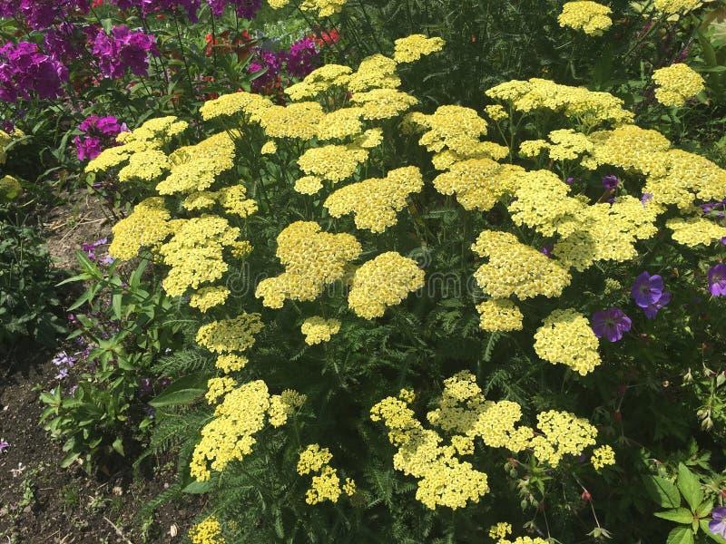 Gele rozen en meer royalty-vrije stock afbeelding