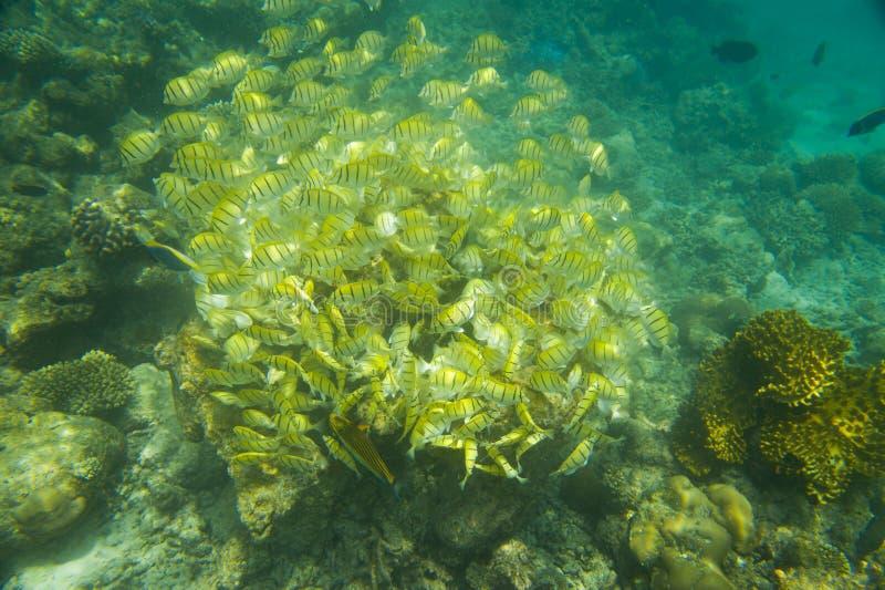 Gele school van vissen royalty-vrije stock foto