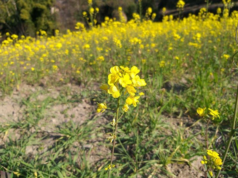 Gele schoonheid in mosterdlandbouwbedrijf royalty-vrije stock foto